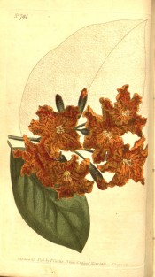 Illustrated are the ovate leaves and funnel-shaped orange-yellow flowers.  Curtis's Botanical Magazine t.794, 1804.