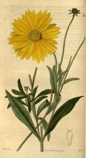 Illustrated are lance-shaped leaves and bright yellow daisy flowers.  Curtis's Botanical Magazine t.2451, 1823.