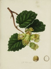 Figured are ovate, toothed leaves and cluster of roundish nuts with short husks. Pomona Londinensis vol.1, pl.49/1818.