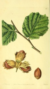 Figured are oval leaves and cluster of elongated nuts with short husks. Pomological Magazine t.55, 1829.
