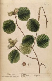 The image depicts the toothed oval leaves and ripe hazel nuts.  Blackwell pl.293, 1739.
