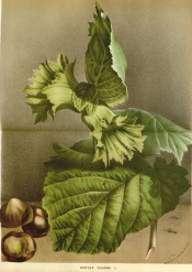 Figured are ovate leaves, frilled, green husks and ripe nuts.  FS f.2223-4, 1875.