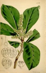 Shown are the  elliptic, deep green leaves and,panicles of tiny yellow flowers.  Curtis's Botanical Magazine t.4379, 1848.