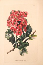 Figured is a shoot with deeply lobed leaves and racemes of small single red flowers.  Loddiges Botanical Cabinet no.1363, 1828.