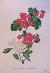 Shown are 2 forms of Hawthorn, with white double flowers and bright red single flowers. Paxton's Magazine of Botany p.198, 1834.