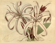 Shown are flowers with red-tinged white segments with a crimson central band.  Curtis's Botanical Magazine t.1605, 1813.