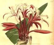 Shown is an umbel of funnel-shaped, bright rosy-red flowers, paler inside. Curtis's Botanical Magazine t.2397, 1823.