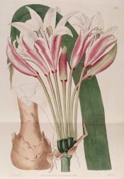 The image shows white trumpet-shaped flowers with a red central stripe on the petals.  Botanical Register f.303, 1818.