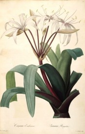 Illustrated are the narrow, curved leaves, and white to pink flowers.  Redouté Liliacées pl.27, 1802-1815.