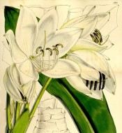 Shown are leaves and large, white cup-shaped flowers.  Curtis's Botanical Magazine t.5205, 1860.
