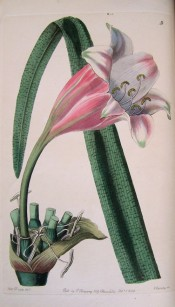 The image depicts a funnel-shaped flower, pink outside, white, shaded pink inside.  Botanical Register f.9, 1844.