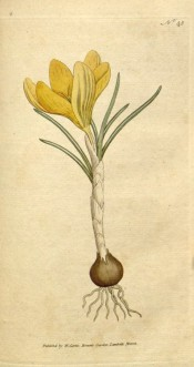 Shown are corm, grey-green linear leaves and funnel-shaped bright yellow flowers.  Curtis's Botanical Magazine t.45, 1786.