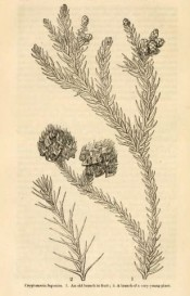The figure is an uncoloured lithograph of leaves and cones.  Journal of the Horticultural Society p.57/1846.