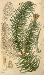 The image shows leaves and male and female cones.  Curtis's botanical Magazine t.2743, 1827.