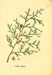 Illustrated are leaves and male and female cones.  Saint-Hilaire Arb. pl.23, 1824.