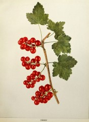 Figured is a fruiting shoot showing lobed leaves and several bunches of red fruit. Small Fruits of New York p.284, 1825.