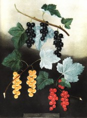 Figured are 3 bunches of currants, black, white, yellow in the picture, and red. Pomona Britannica pl.5, 1812.
