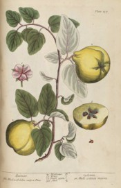 Figured are a pink flower and a shoot with leaves and yellow, pear-shaped fruit.  Blackwell pl.137, 1737.