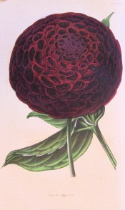 Illustrated is a ball type Dahlia deep red in colour.  British Florist pl.40, 1843.