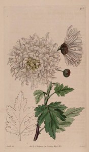 Illustrated is a very double, pure white chrysanthemum.  Botanical Register f.455, 1820.