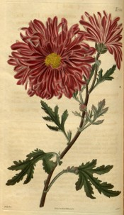 Shown is a semi-double chrysanthemums, purple with a yellow centre.  Curtis's Botanical Magazine t.2556,1821.