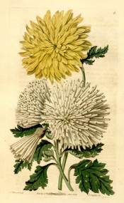 Shown are two double chrysanthemums, yellow and quilled white.  Botanical Register f.4, 1815.