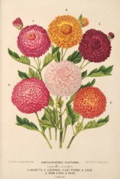 Illustrated are 6 chrysanthemums, all very double, in shades of red, orange and pink.  L'Illustration Horticole pl.8, 1870.