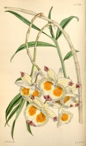 Figured are leaves and cream flowers with a fringed lip and red and yellow markings.  Curtis's Botanical Magazine t.4429, 1849.