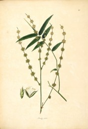 Illustrated are leaves and flowers.  Roxburgh vol.1, pl.80, 1832.
