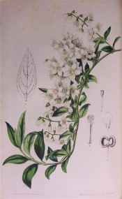 Illustrated is a shoot with numerous white, star-shaped flowers.  Flore des Serres f. 611, 1851.