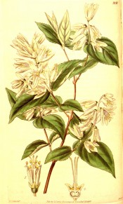 Shown are the broadly ovate leaves and panicles of star shaped white flowers.  Curtis's Botanical Magazine t.3838, 1840.