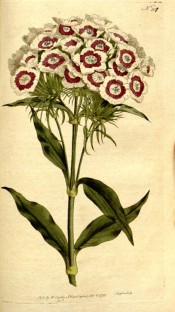 Depicted is a multi-flowered umbel with single white flowers with a red eye.  Curtis's Botanical Magazine t.207, 1792.