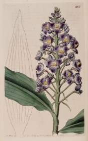 Illustrated are the lance-shaped leaves, and a dense raceme of deep violet flowers.  Botanical Register f.682, 1823.