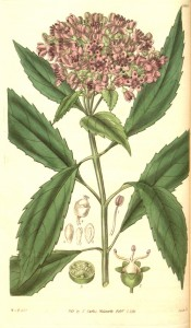 Depicted are lance-shaped, toothed leaves and terminal panicles of pink flowers.  Curtis's Botanical Magazine t.3046, 1831.