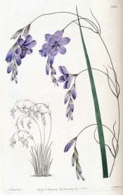 Shown are sword-shaped leaf and pendulous stem with pale blue, open-bell-shaped flowers.  Botanical Register f.1360, 1831.
