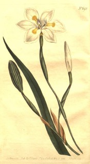Figured are sword-like leaf and white iris-like flower with yellow markings.  Curtis's Botanical Magazine t.693, 1803.