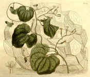 The image depicts the swollen tuber, foliage and tiny white to yellow flowers.  Curtis's Botanical Magazine t.1347, 1811.
