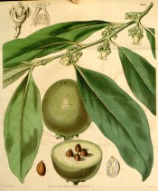 Illustrated are lance-shaped leaves, small white flowers and fruit.  Curtis's Botanical Magazine t.3988, 1843.