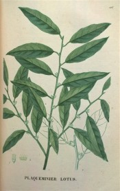 Illustrated are the lance-shaped leaves and tiny, bell-shaped, red-tinged green flowers.  Saint-Hilaire Tr. pl.125, 1825.