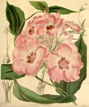 The image shows a twining climber with pink trumpet flowers.  Curtis's Botanical Magazine t.3976, 1842.