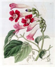 Figured is a twining climber with heart-shaped leaves and red trumpet flowers.  Botanical Register f.1301, 1829.