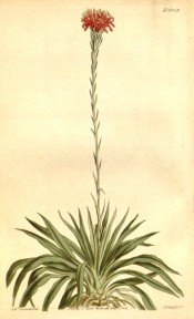 Figured is the whole plant, large basal leaves and tall spike of red flowers.  Curtis's Botanical Magazine t.1685 B, 1814.