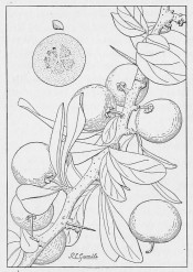 The line drawing shows a shoot with stout spines, leaves  round fruit. Manual of Tropical and Sub-tropical Fruits p.442, 1920.