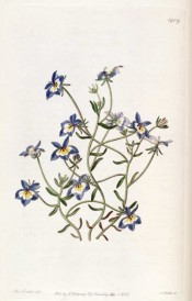 illustrated are lance-shaped leaves and blue and white flowers with yellow throat.  Botanical Register f.1909, 1836.