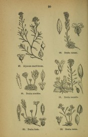 D. incana is shown as a line drawing, top right, the entire plant and flower.  Illustrations of the British Flora p.20, 1880.