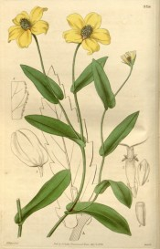 Illustrated are the oblong leaves and yellow  daisy-like flowers.  Curtis's Botanical Magazine t.3716, 1839.