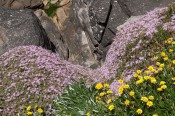 This beautiful photograph shows the Rodondo creeper growing on cliffs near Sydney together with a yellow Gazania.