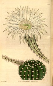 Figured is a spherical, ribbed cactus with clustered white spines and white flower.  Curtis's Botanical Magazine t.3411, 1835.