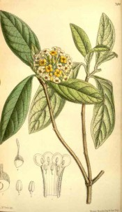 Figured are lance-shaped leaves and a circular head of small yellow flowers.  Curtis's Botanical Magazine t.7180, 1891.