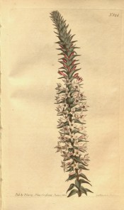 Figured is an erect inflorescence with small pointed leaves and pink flowers.  Curtis's Botanical Magazine t.844, 1805.